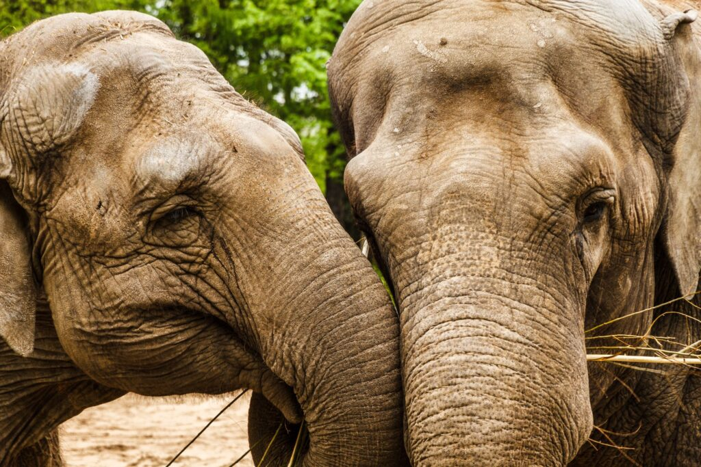 olifanten liefde